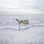 Kozioł - instalacja na tle zimowego, białego, śnieżnego i lodowego pejzażu. Kliknięcie w obrazek spowoduje przejście do artykułu.